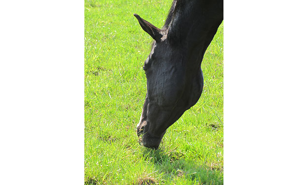 Managing Autumn Laminitis-Blue Chip