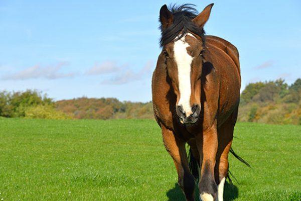 Former Essex Police horse Trojan