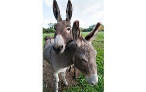 Donkey-013--Credit-to-Andrew-Walmsley