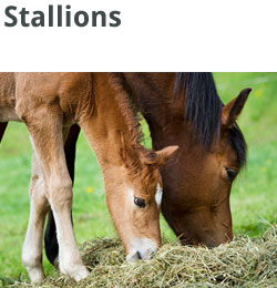 stallions and breeders