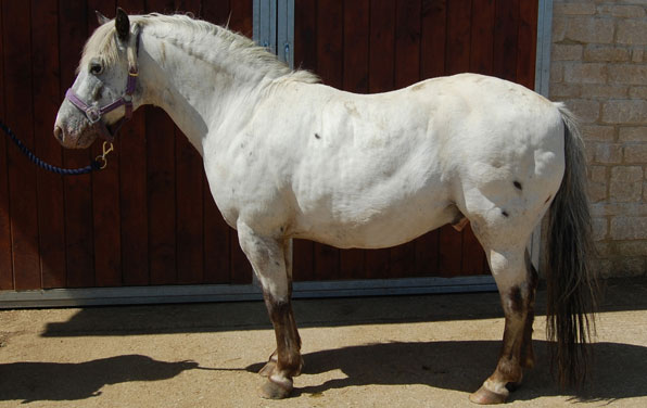Obese-horse credit-photo-to-Blue-Cross