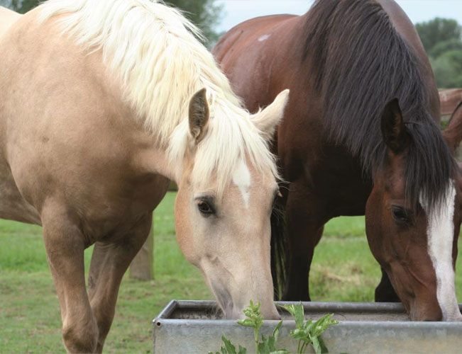 Horses-drinking-from-a-water-trough